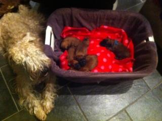 Indy met haar pups!