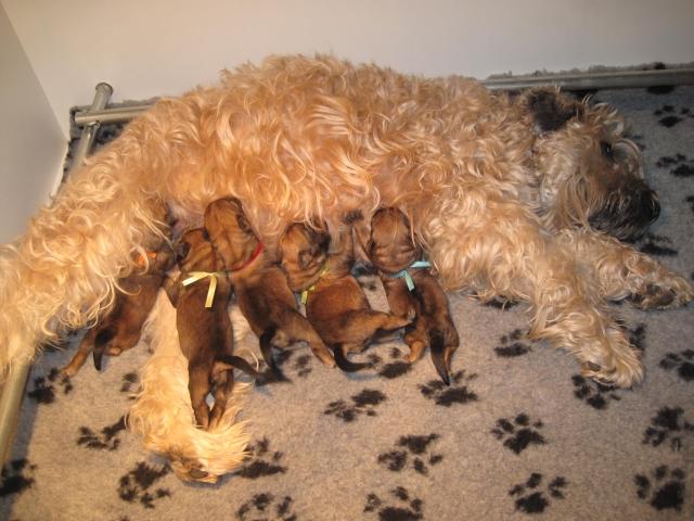 Het B nest Cheyenne met pups