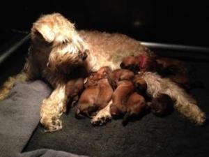 Nest E van Keetje met 11 pups