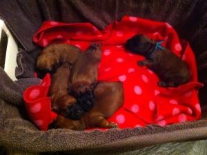 Indy haar pups!