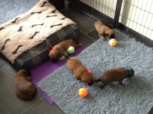 Indy met haar pups! 3 weken